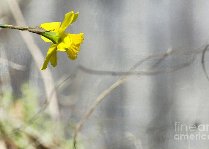 Daffodil Greeting Card featuring the photograph Reaching by Robin Gayl