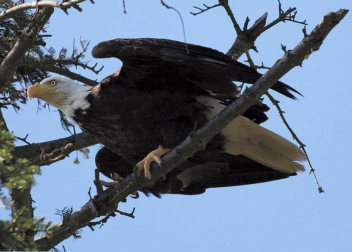 Eagle Greeting Card featuring the photograph Ready For Take-off Nw3068a by Mary Gaines