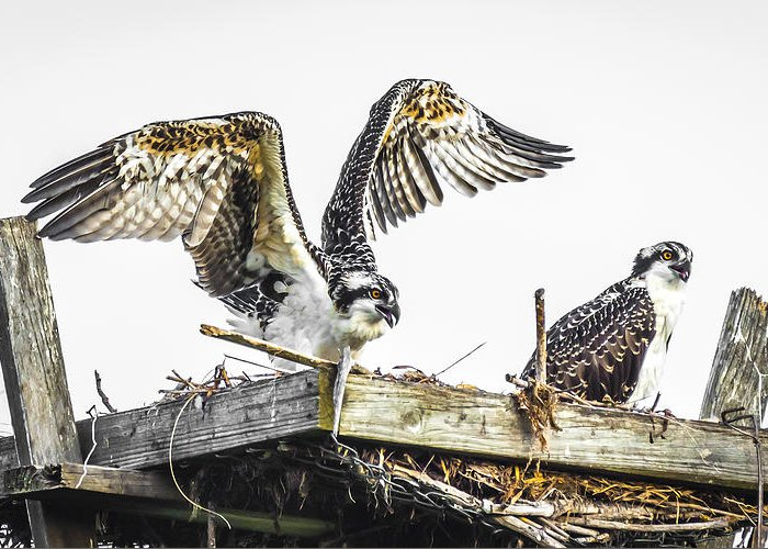 Osprey Greeting Card featuring the photograph Ready To Fly by Francisco Gomez