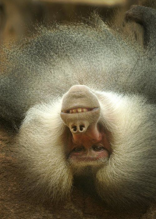 Baboon Greeting Card featuring the photograph Reclining Baboon by Richard Henne