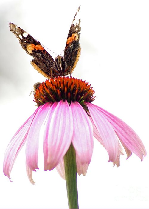 Greeting Card featuring the photograph Red Admiral On Echinacea by Kitrina Arbuckle