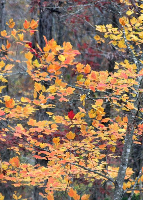 Fall Greeting Card featuring the photograph Red Amongst The Yellows by Kenna Westerman
