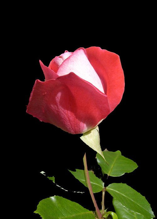 Rosebud Greeting Card featuring the photograph Red And Pink Rosebud by Shirley anne Dunne