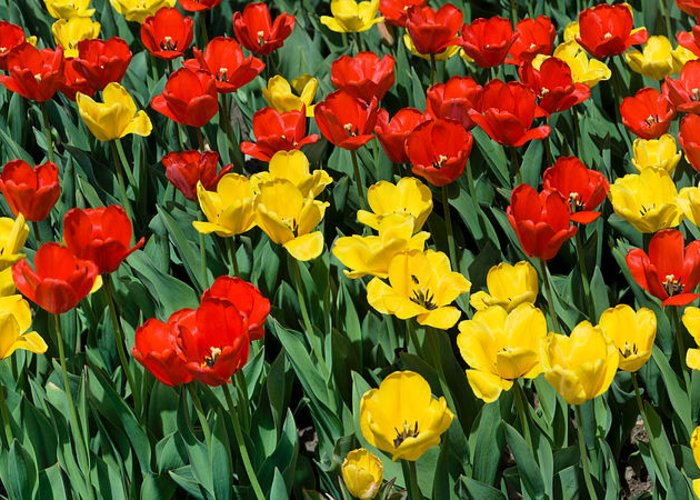 Red Greeting Card featuring the photograph Red And Yellow Tulips Naperville Illinois by Michael Bessler