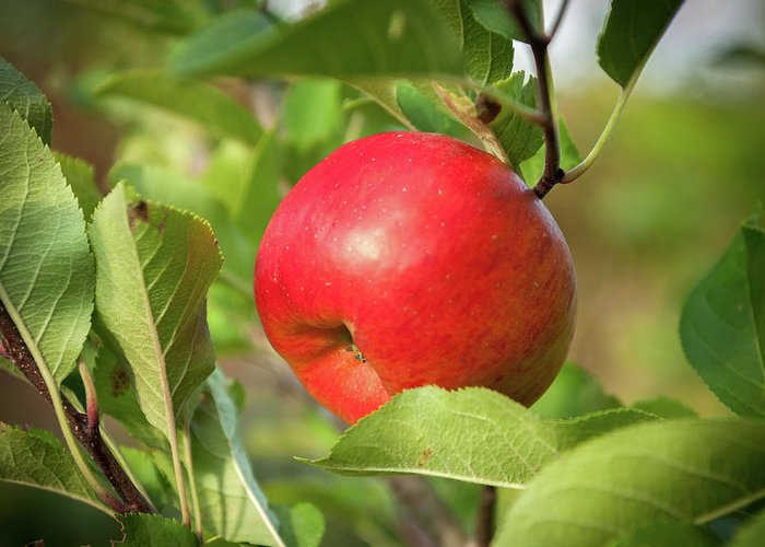 Apple Greeting Card featuring the photograph Red Apple On A Tree by Stefan Rotter
