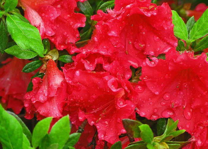 Flower Greeting Card featuring the photograph Red Azaleas by Richard Singleton