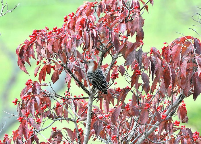 Woodpeckers Greeting Card featuring the photograph Red Bellied Woodpecker In Dogwood by Alan Lenk