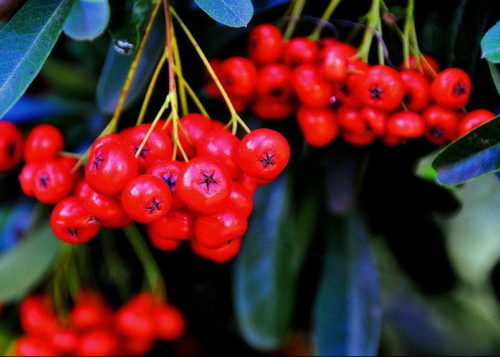 Red Greeting Card featuring the photograph Red Berries by Lyle Huisken