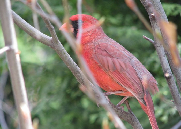 Red Bird Greeting Card featuring the photograph Red Bird In The Woods-2 by Pooja Dipanker