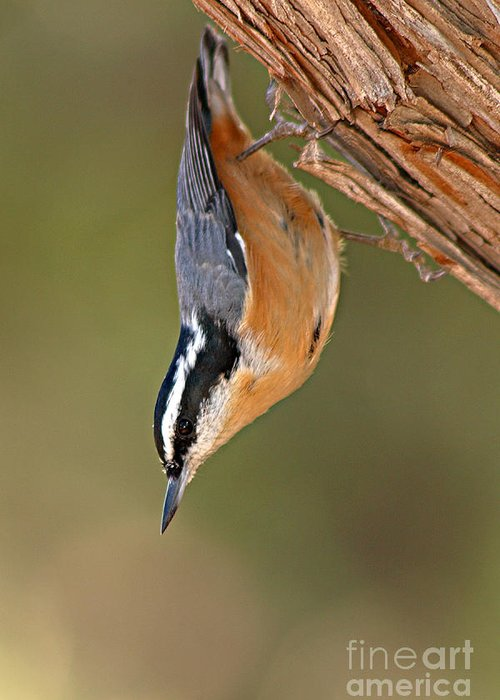 Nuthatch Greeting Card featuring the photograph Red-breasted Nuthatch Upside Down by Max Allen
