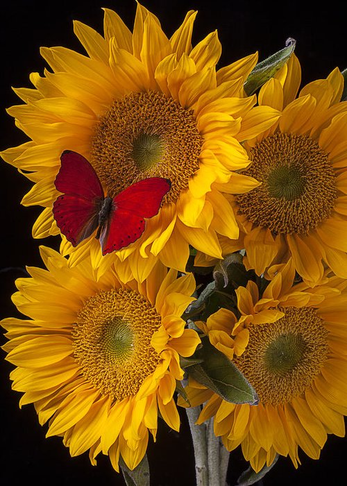 Four Greeting Card featuring the photograph Red Butterfly With Four Sunflowers by Garry Gay
