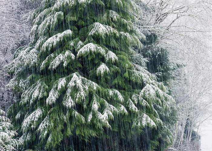 Astoria Greeting Card featuring the photograph Red Cedar And Snow by Robert Potts