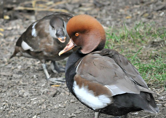 Red Crested Pochard Greeting Card featuring the photograph Red Crested Pochard Duck by Darin Bokeno