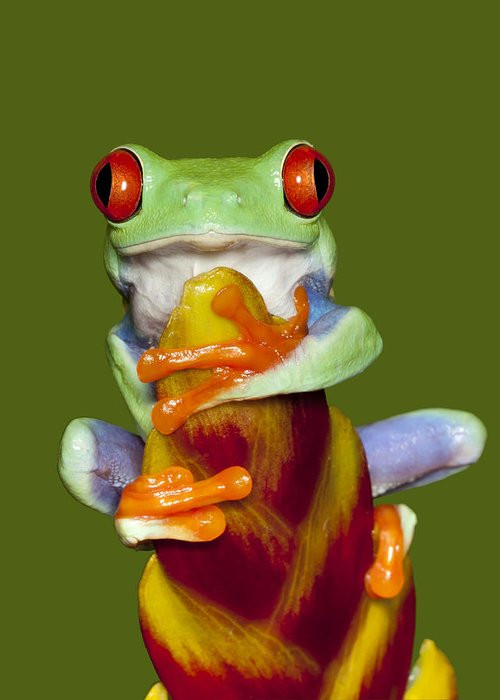 Frog Greeting Card featuring the photograph Red Eyed Delight by Janet Fikar