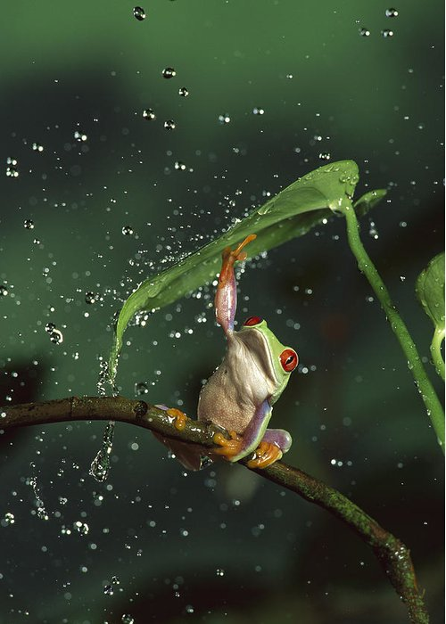 Mp Greeting Card featuring the photograph Red-eyed Tree Frog In The Rain by Michael Durham