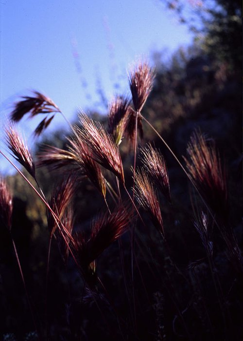 Nature Greeting Card featuring the photograph Red Feathers by Randy Oberg