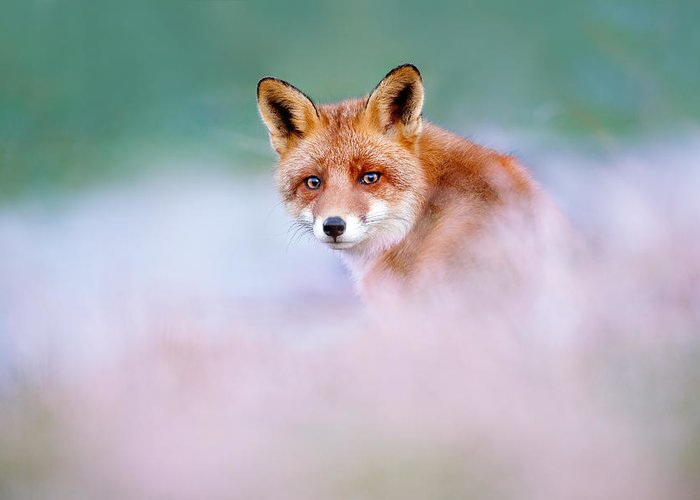 Red Fox Greeting Card featuring the photograph Red Fox In A Mysterious World by Roeselien Raimond