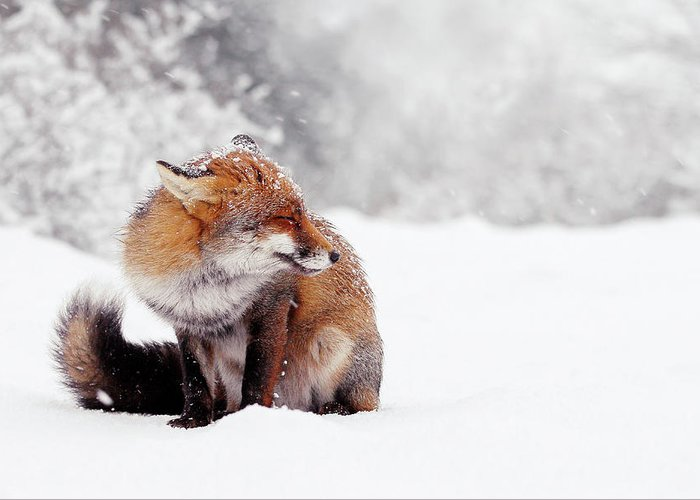 Fox Greeting Card featuring the photograph Red Fox In The Snow Series by Roeselien Raimond