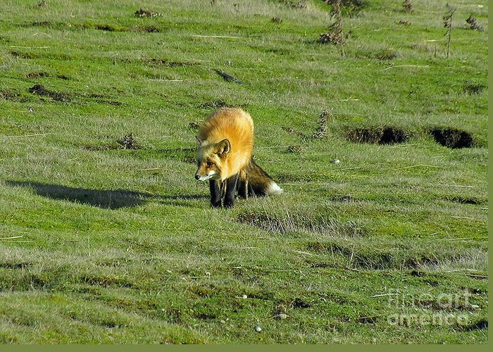 Fox Greeting Card featuring the photograph Red Fox by Louise Magno