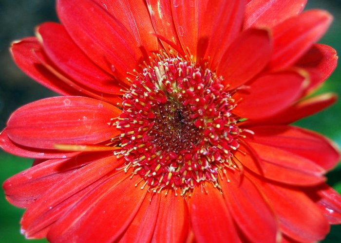 Gerber Greeting Card featuring the photograph Red Gerber Daisy by Amy Fose