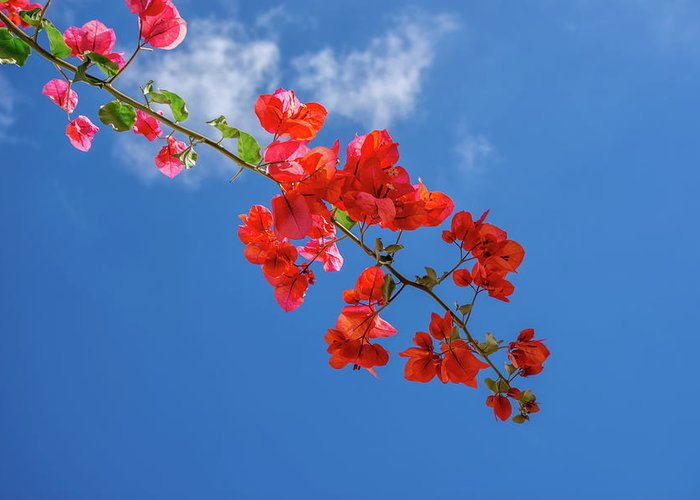 Bougainvillea Greeting Card featuring the photograph Red In The Sky by Antonello Bettini