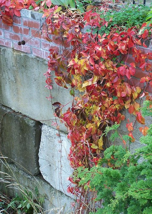 Red Leaves Greeting Card featuring the photograph Red Ivy by Gene Ritchhart