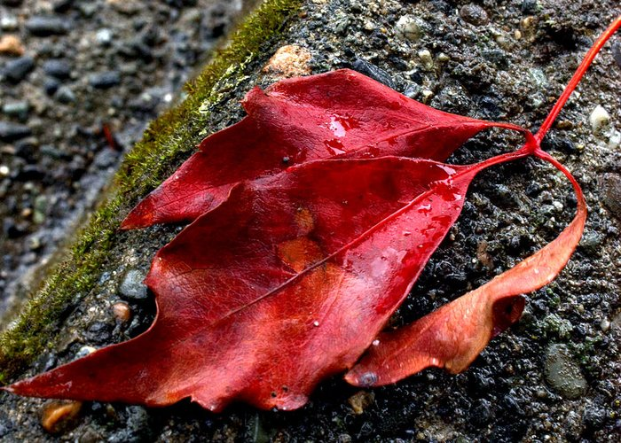Leaves Greeting Card featuring the photograph Red Leaves And Concrete by Barbara White