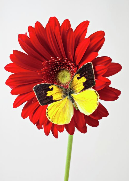 Red Mum Dogface Butterfly Chrysanthemums Greeting Card featuring the photograph Red Mum With Dogface Butterfly by Garry Gay