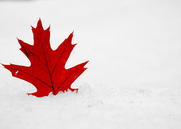 Maple Leaf Greeting Card featuring the photograph Red On White by Evia Nugrahani Koos