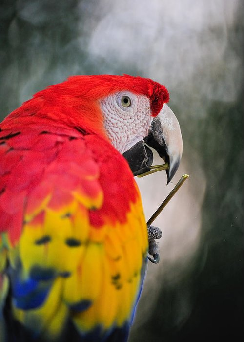 Parrot Greeting Card featuring the photograph Red Parrot by Tom Dowd