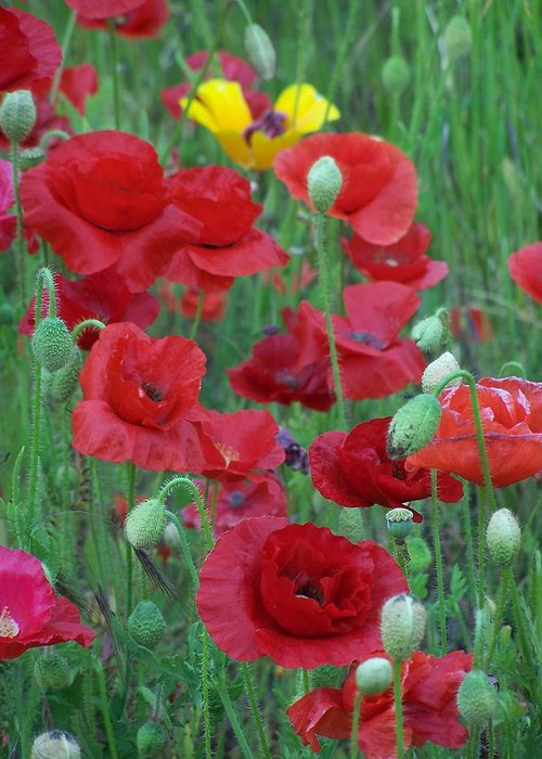 Red Poppies Greeting Card featuring the photograph Red Poppies by Gene Ritchhart
