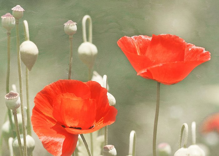 Red Flower Greeting Card featuring the photograph Red Poppies by Kim Hojnacki