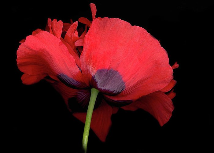 Red Poppy Greeting Card featuring the digital art RED Poppy by Sandi F Hutchins