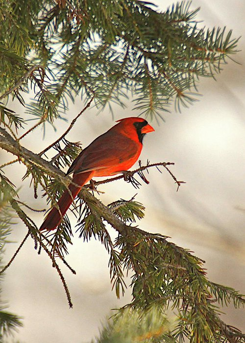 Bird Greeting Card featuring the photograph Red by Robert Pearson