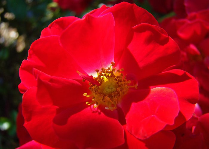 Rose Greeting Card featuring the photograph Red Rose Art Print Sunlit Roses Botanical Giclee Baslee Troutman by Baslee Troutman