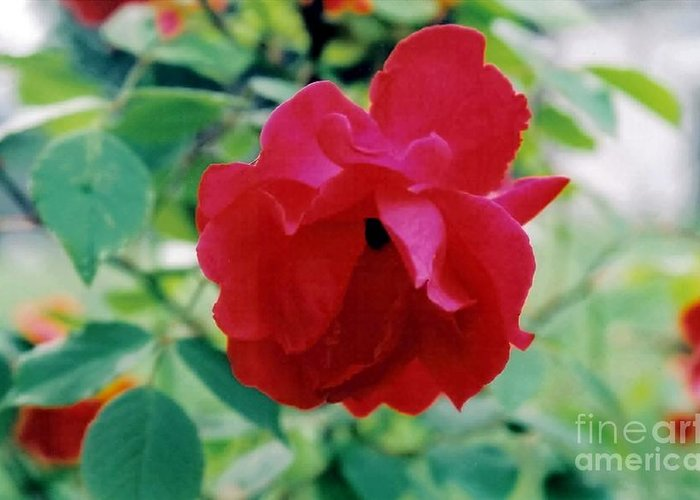 Red Greeting Card featuring the photograph Red Rose by Emily Kelley