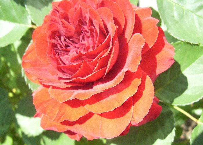 Rose Floral Flowers Garden Roses Greeting Card featuring the photograph Red Rose by Lisa Roy