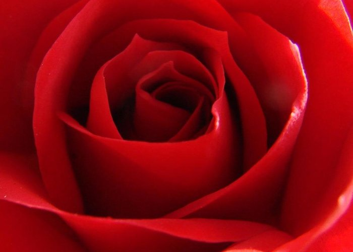 Roses Greeting Card featuring the photograph Red Rose by Liz Vernand