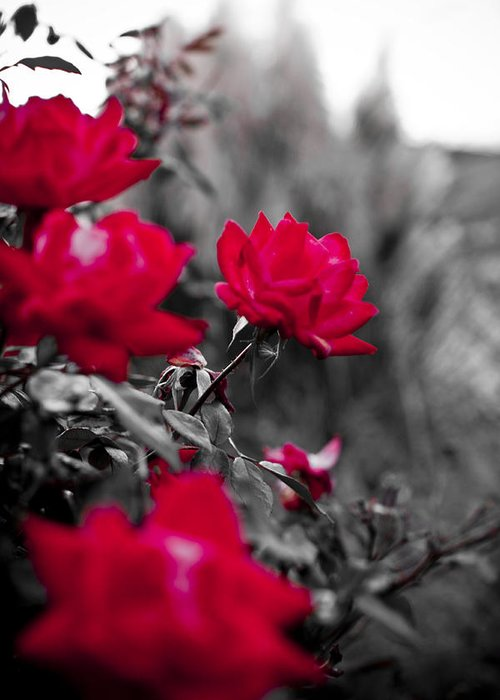 Red Greeting Card featuring the photograph Red Roses by Dustin K Ryan