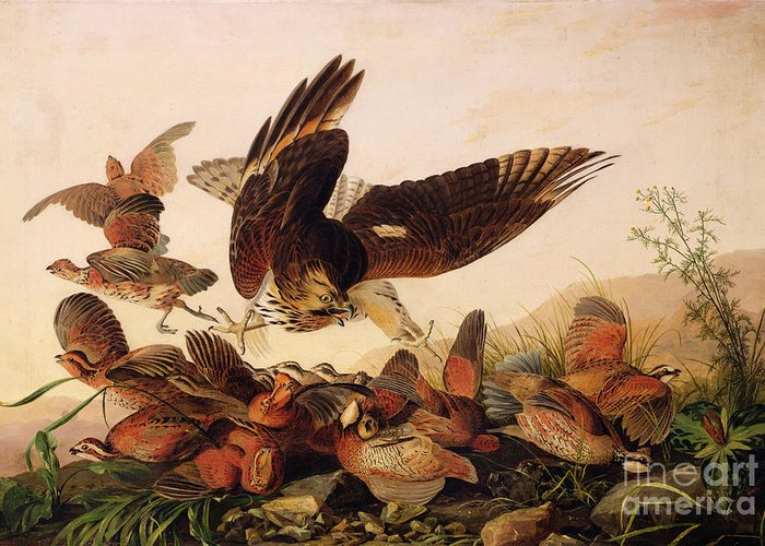 Red-shouldered Hawks Greeting Cards