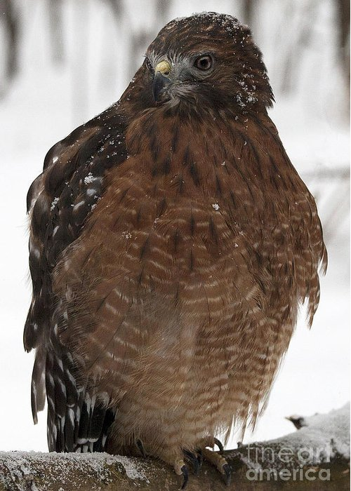 Red Shouldered Hawk Greeting Card featuring the photograph Red Shouldered Hawk Portrait by Emma England