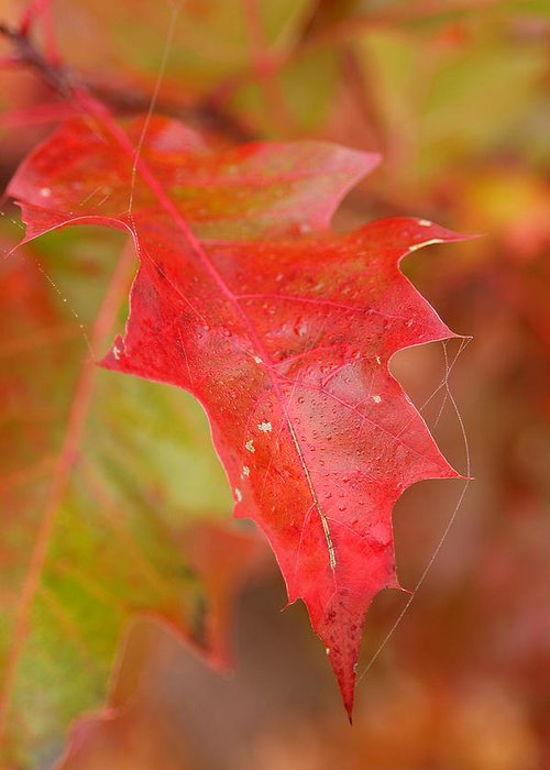 Oak Leaves Greeting Card featuring the photograph Red Silk by Linda McRae