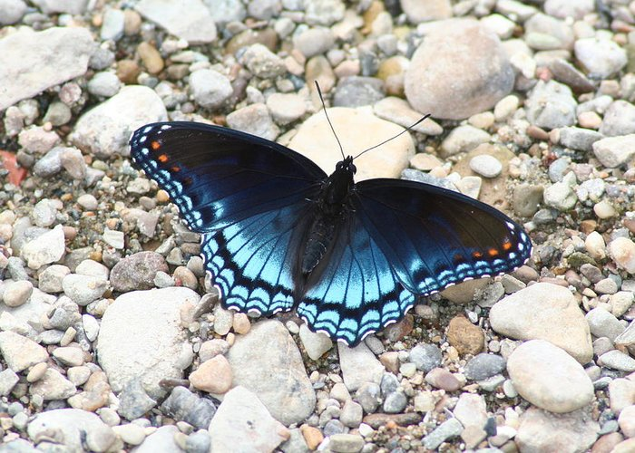 Red Greeting Card featuring the photograph Red Spotted Purple by Jeff VanDyke