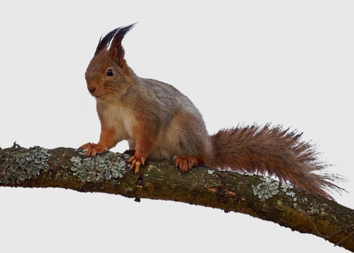 Jouko Lehto; Lehtokukka; Lehtokukka Photography; Nokia; Suomi; Finland; Valokuva; Photograph; Photo; Luonto; Nature; Orava; Sciurus Vulgaris; Red Squirrel; Eurasian Red Squirrel; Squirrel Greeting Card featuring the photograph Red Squirrel Transparent by Jouko Lehto