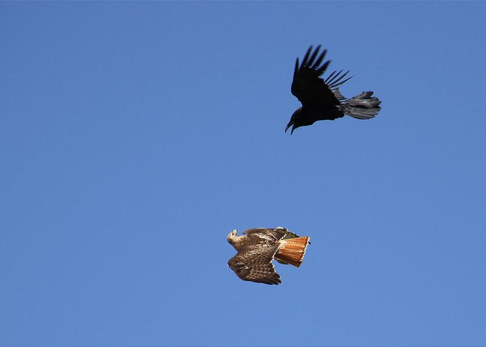 Nature Photography Greeting Card featuring the photograph Red Tail And Raven by MH Ramona Swift
