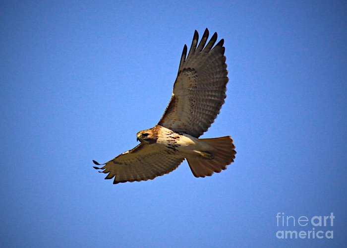 Hawk Greeting Card featuring the photograph Red Tail Hawk by Robert Pearson