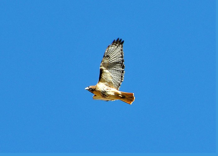 Red Tailed Hawk Greeting Card featuring the photograph Red Tailed Hawk by Alan Lenk