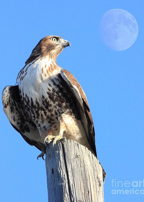 Wingsdomain Greeting Card featuring the photograph Red Tailed Hawk And Moon by Wingsdomain Art and Photography