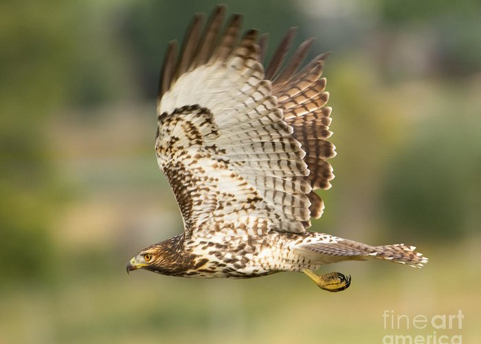 Bird Greeting Card featuring the photograph Red Tailed Hawk Hunting by Dennis Hammer