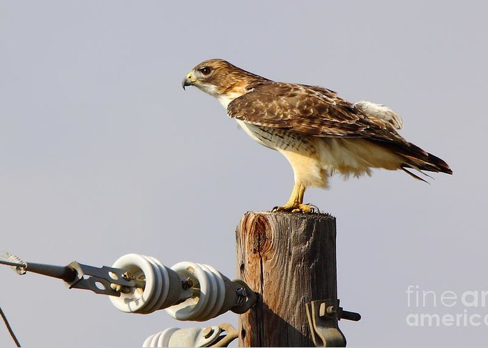Animal Greeting Card featuring the photograph Red Tailed Hawk Perched by Robert Frederick